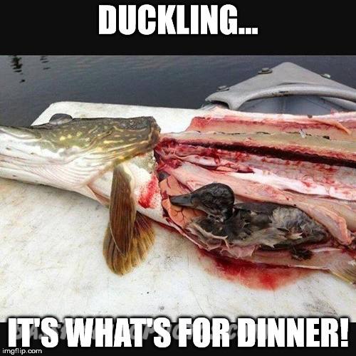 Ducklingfordinnermeme.jpg